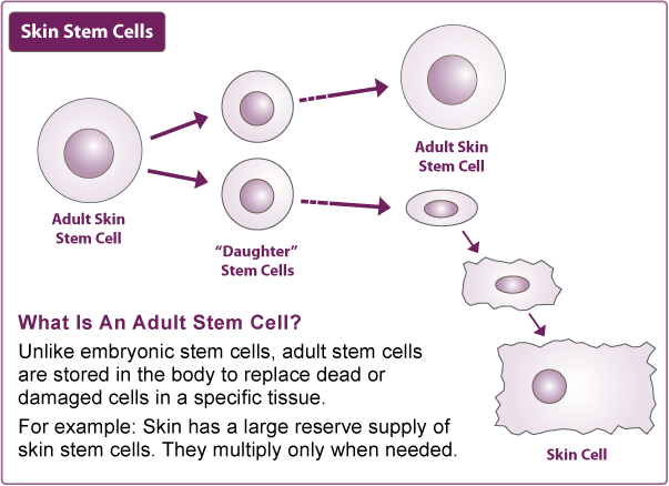 adult skin stem cell
