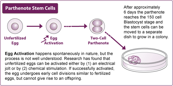 Schematic of Parthenote stem cells alt