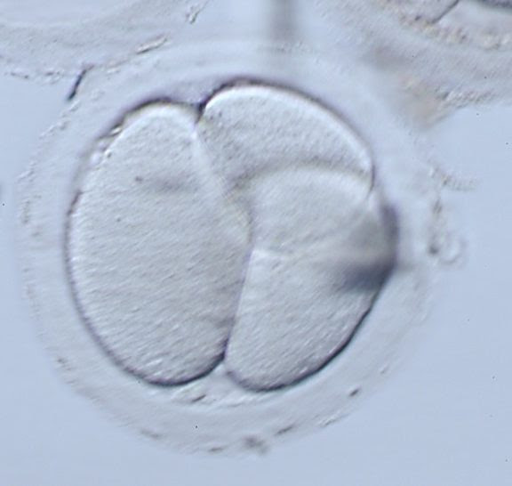 Microscope photo of a A three-cell parthenote